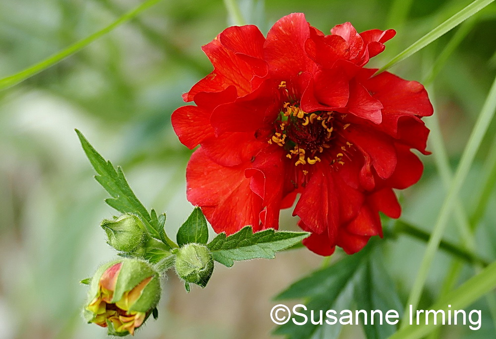 Geum Flames og Passion