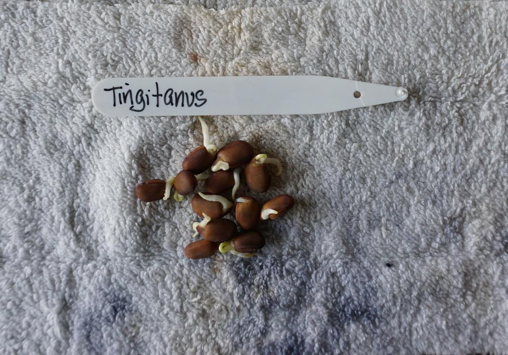 Tingitanus