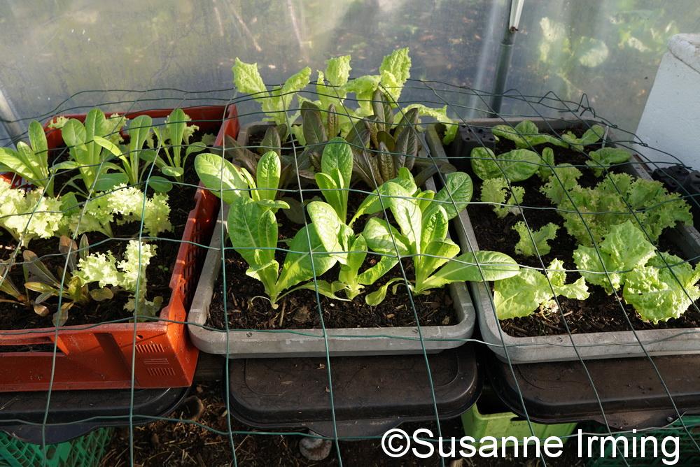 Salat i drivhuset